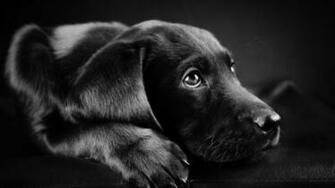 dog Animals Labrador Retriever Black Puppies Closeup