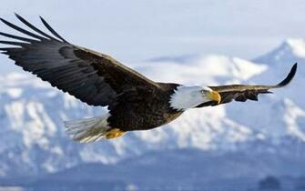 Wallpapers 4 u Download 3D Flying Bald Eagle HD Wallpaper