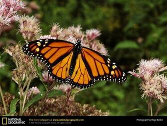 Monarch Butterfly Wallpapers Butterfly Beautiful Pictures