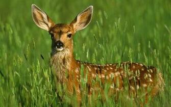 free download Deer wallpaper pc Deer Download Deer Hd Image For Pc