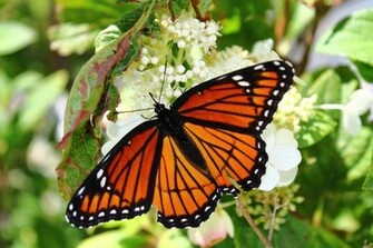 Monarch Butterfly 12 Hd Wallpaper Wallpaper