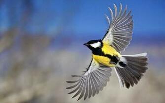 Flying Birds Wallpapers HD Yellow Belly Birds Belly Hd