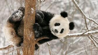 Panda Bear Wallpaper Wallpapers Backgrounds   Doblelolcom