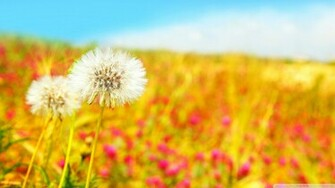 Blowing Dandelion Wallpaper Spring dandelions wallpaper