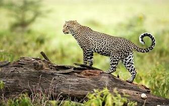 Leopard Wildlife Wallpapers HD Wallpapers