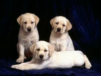 Labrador Puppies Review and Pictures