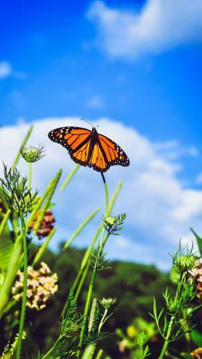 Download wallpaper 938x1668 monarch butterfly butterfly close up