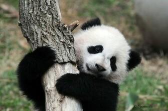 Panda pandas baer bears baby cute 59 wallpaper 4288x2848 364485