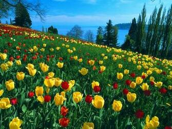of Tulips Germany HD Wallpaper Field of Tulips Germany Wallpapers