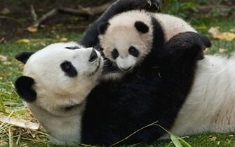 Baby Panda Bears Panda