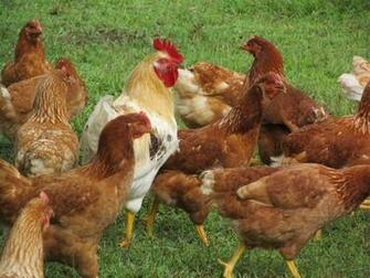 of roosters crowing and chickens images of chickens and eggs wallpaper