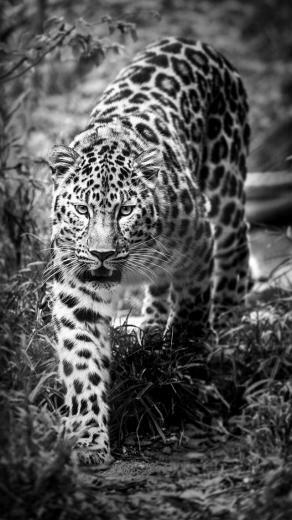 Leopard Black and White Wallpaper   iPhone Wallpapers
