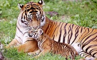 Cool Baby tiger with his mom Wallpaper Animals Pinterest