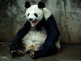Panda Bear Wallpapers Desktop Wallpapers