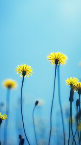 download flower dandelion wallpaper for samsung galaxy note 4