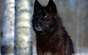 Wolf Wallpapers Download Black White and Grey Wolfs HD Wallpapers