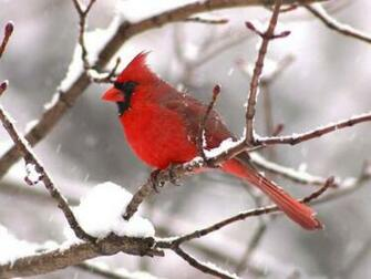 cardinal wallpapercardinal imagescardinal photocardinal picture