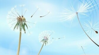 Blowing Dandelions Wallpaper 1920x1080 Blowing Dandelions