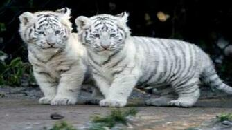 TIGER WALLPAPERS White Tiger Cub Wallpapers