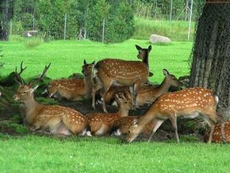 wallpaper download deer wallpaper in hd resoutions for deer