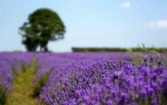 Lavender field wallpaper 18658