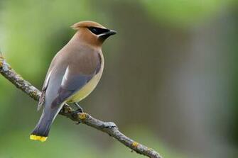 Pin by Kristen U S on MY Backyard Birds Cedar waxwing Bird