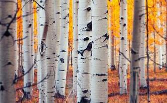 Images USA Colorado Aspen Birch Nature Autumn Forests Trunk tree