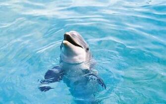 dolphin with head out of the water hd dolphins wallpapers backgrounds
