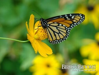 Monarch butterfly wallpaper butterfly wallpaper images monarch