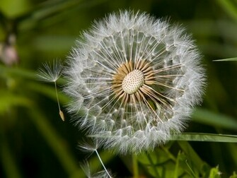 Picture of a Dandelion Seed Head   Wildflowers Background   1024x768