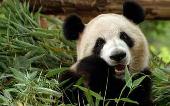 Sweet Panda Eating Bamboo   Animal Lovers Wallpaper
