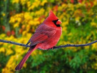 HQ Male Northern Cardinal Wallpaper   HQ Wallpapers