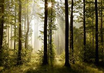 Wall mural wallpaper nature forest tree light show photo 360 cm x 254