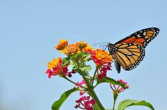Monarch Butterfly Wallpaper Latest Collection e73io11e
