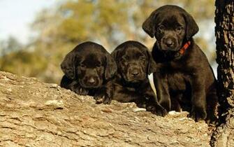Pics Photos   Black Labrador Dog Wallpaper In 1920x1200