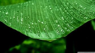 Wet Banana Tree Leaf Wallpaper 1920x1080 Wet Banana Tree Leaf