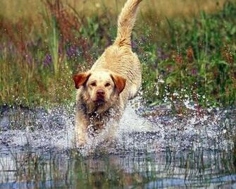 labrador retriever splashes Dogs Wallpaper Desktop Wallpaper