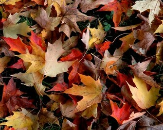 very pretty autumn leaves desktop wallpaper you can download for
