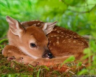Download Deer Wallpapers Beautifull Hd Wallpaper