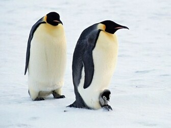 Cute Penguin Wallpapers High Definition Wallpapers