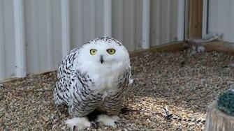 Bald Eagles Owls and Other Birds Rehabilitated at Illinois Raptor