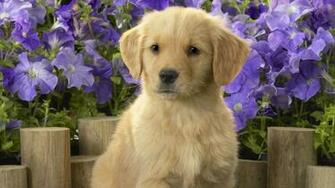 Labrador puppy Widescreen Wallpaper   4908