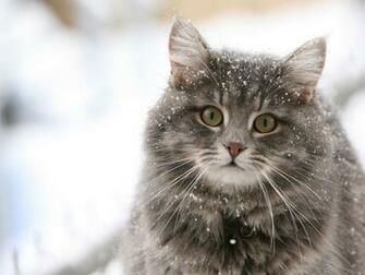 Cute cat in the snow desktop wallpaper Programming Resource Center