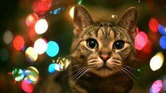 Cat Animal Christmas Wallpaper Photography Wallpaper with 1920x1080