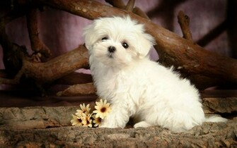 Cute little maltese dog wallpaper HD Animals Wallpapers