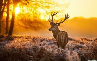 Download Deer Sunset Time wallpaper in Animals wallpapers with all