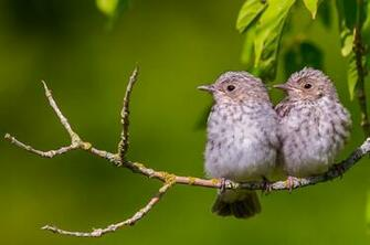 Two gray birds on a branch wallpaper   ForWallpapercom