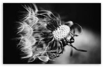 Dandelion Black and White HD wallpaper for Standard 43 54 Fullscreen
