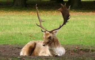 for deer hd deer wallpapers full hd wallpaper animal hd wallpaper deer