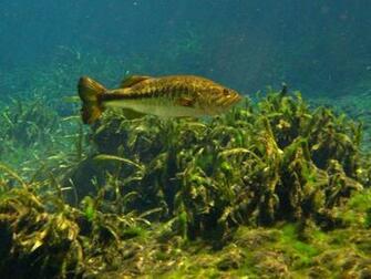 Largemouth Bass Wallpapers